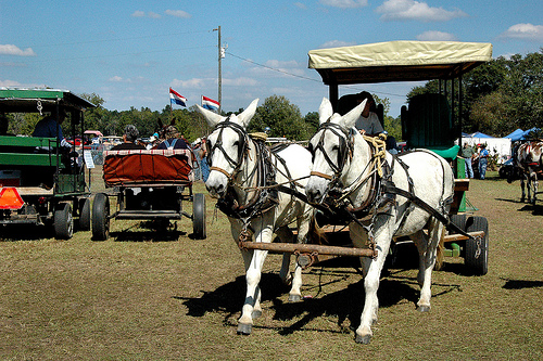 guysie mule roundup whites photograph copyright brian brown vanishing south georgia usa 2010