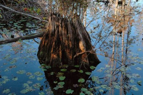 okefenokee swamp ga cypress stump photograph copyright brian brown vanishing south georgia usa 2009
