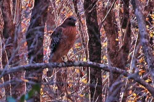 okefenokee swamp ga red shouldered hawk photograph copyright brian brown vanishing south georgia usa 2009