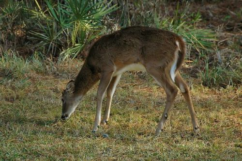 okefenokee swamp ga white tailed deer photograph copyright brian brown vanishing south georgia usa 2009