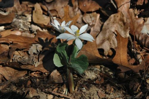 ocmulgee river coffee county ga bloodroot sanguinaria candensis photograph copyright brian brown vanishing south georgia usa 2010
