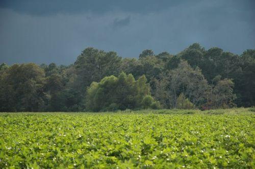 mystic ga thunderstorm over cotton field photograph copyright brian brown vanishing south georgia usa 2010
