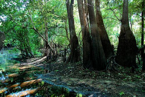 333 pixels big hammock national natural landmark wma tattnall county ga      rh   vanishingsouthgeorgia