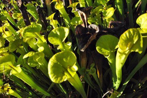yellow-pitcher-plants-sarracenia-flava-turner-county-ga-photograph-copyright-brian-brown-vanishing-south-georgia-usa-2011