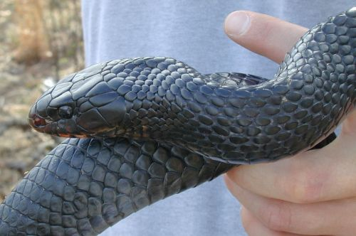 eastern_indigo_snake-public-domain-photograph-pete-pattavina-u-s-fish-and-wildlife-service