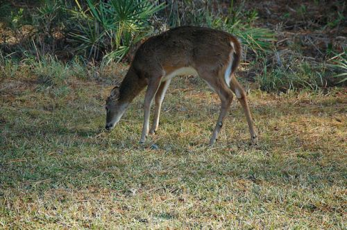 okefenokee-swamp-white-tailed-deer-photograph-copyright-brian-brown-vanishing-south-georgia-usa-2011