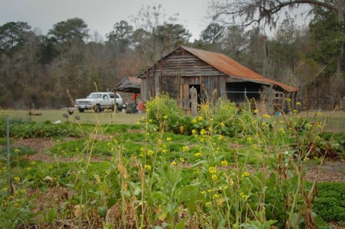 red-earth-farm-altamaha-ga-winter-greens-photograph-copyright-brian-brown-vanishing-south-georgia-usa-2012