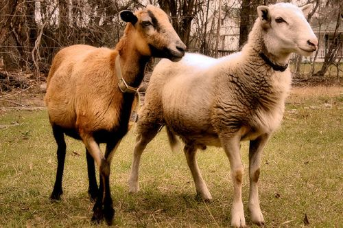 red-earth-farm-tattnall-county-ga-barbados-blackbelly-katahdin-sheep-photograph-copyright-brian-brown-vanishing-south-georgia-usa-2012