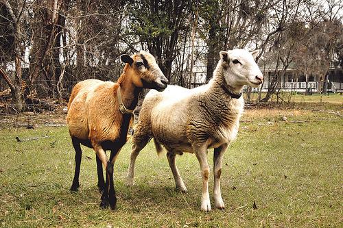 Katahdin And Barbados Sheep