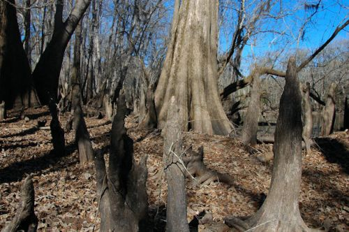 moody-forest-natural-area-cypress-knees-photograph-copyright-brian-brown-vanishing-south-georgia-usa-2012