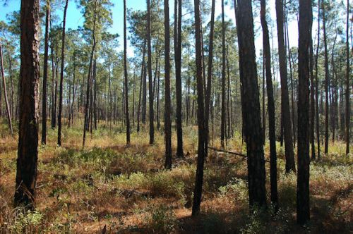 moody-forest-natural-area-longleaf-pine-forest-photograph-copyright-brian-brown-vanishing-south-georgia-usa-2012