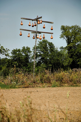 gourd-tree-irwin-county-ga-photograph-copyright-brian-brown-vanishing-south-georgia-usa-2012