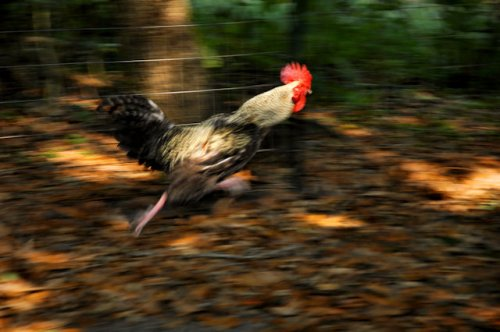 cuckoo-marans-rooster-lax-ga-photograph-copyright-brian-brown-vanishing-south-georgia-usa-2012