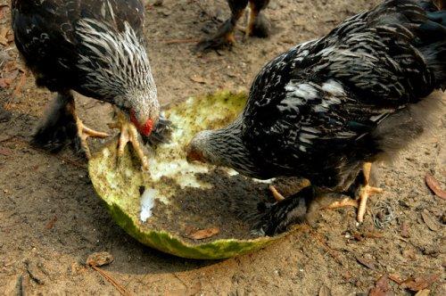 dark-brahma-roosters-eating-watermelon-rinds-lax-ga-photograph-copyright-brian-brown-vanishing-south-georgia-usa-2012