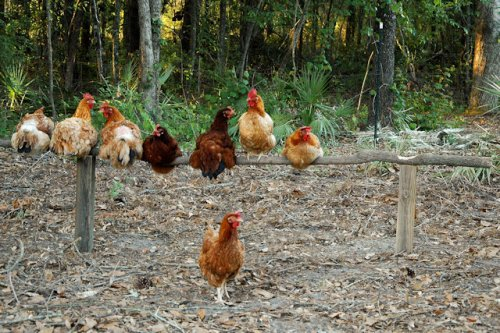red-ranger-rhode-island-red-hens-natural-roosting-pole-lax-ga-photograph-copyright-brian-brown-vanishing-south-georgia-usa-2012