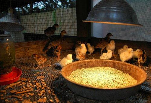 silver-pheasant-standard-dark-cornish-red-ranger-chicks-lax-ga-photograph-copyright-brian-brown-vanishing-south-georgia-usa-2012