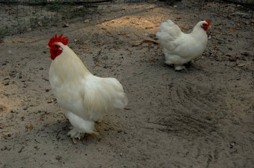 white-cochin-bantam-pair-lax-ga-photograph-copyright-brian-brown-vanishing-south-georgia-usa-2012
