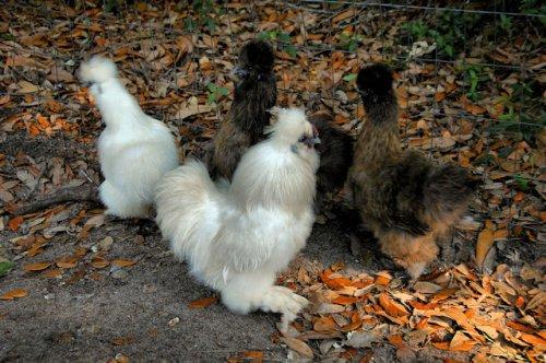 white-partridge-japanese-silkies-lax-ga-photograph-copyright-brian-brown-vanishing-south-georgia-usa-2012