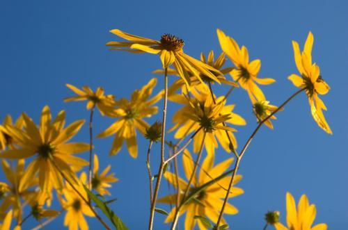 swamp-sunflower-helianthus-angustifolia-long-county-ga-photograph-copyright-brian-brown-vanishing-south-georgia-usa-2012