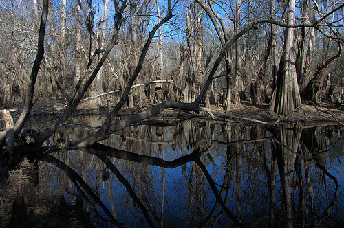 Ohoopee River GA Tattnall County Near Altamaha Confluence Big Hammock Cypress Reflection Winter Bottomland Floodplain Picture Image Photo © Brian Brown Vanishing South Georgia USA 2013