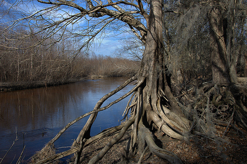 Ohoopee River GA Tattnall County Near Altamaha Confluence Big Hammock Exposed Roots Hardwoods Winter Landscape Picture Image Photograph © Brian Brown Vanishing South Georgia USA 2013