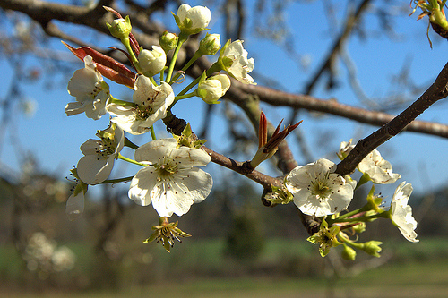 Wild Hog Pear Pyrus pyraster Early Blooming February Sign of Spring in South Blossoms Picture Image Photograph © Brian Brown Vanishing South Georgia USA 2013