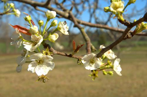 wild-pear-tree-blossoms-tattnall-county-ga-photograph-copyright-brian-brown-vanishing-south-georgia-usa-2013