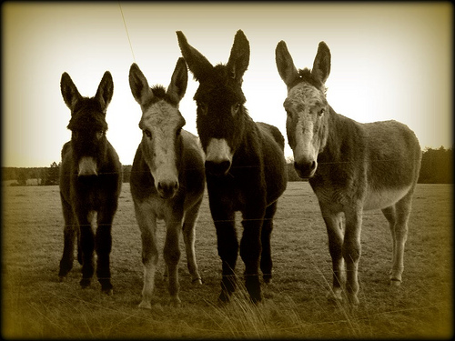 Four Donkeys Longears Ben Hill County GA Picture Image Photograph © Brian Brown Vanishing South Georgia USA 2008