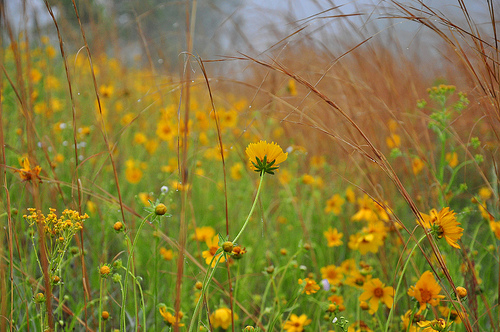 Roadside Wildflowers Irwin County GA Coreopsis Broomsedge Andropogon virginicus Native Plants Picture Image Photograph © Brian Brown Vanishing South Georgia USA 2013