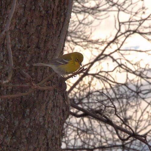 Pine Warbler Dendroica pinus in Pecan Tree Photograph Copyright Brian Brown Vanishing South Georgia USA 2014
