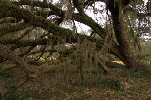 Live Oak Tree Growing Sideways Grove Canopy Spanish Moss Hofwyl Broadfield Plantation Glynn County GA Photograph Copyright Brian Brown Vanishing South Georgia USA 2014