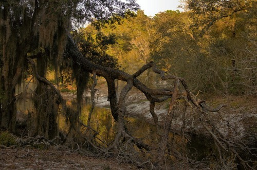 Fallen Oak beside Alapaha River Canal Irwin County GA Photograph Copyright Brian Brown Vanishing South Georgia USA 2014