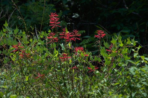 Coral Bean Erythrina herbacea Red Flower Bush Tree Altamaha River Bottomlands Photograph Copyright Brian Brown Vanishing South Georgia USA 2014