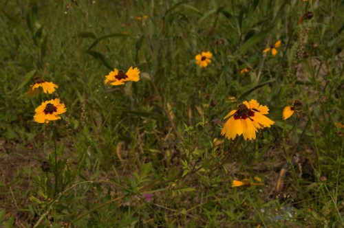 Goldenmane Tickseed Coreopsis basalis Calliopsis Spring Wildflowers Native Plants Ben Hill County GA Photograph Copyright Brian Brown Vanishing South Georgia USA 2014