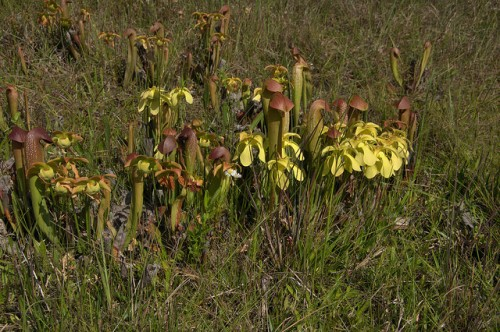 Hooded Pitcher Plant Sarracenia minor in Bloom Endangered Native Carnivourous Plant Bannockburn Community Berrien County GA Photograph Copyright Brian Brown Vanishing South Georgia USA 2014