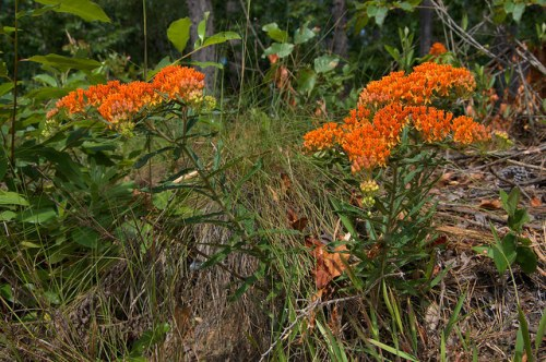 Milkweed Asclepias tuberosa Ben Hill County GA Photograph Copyright Brian Brown Vanishing South Georgia USA 2014