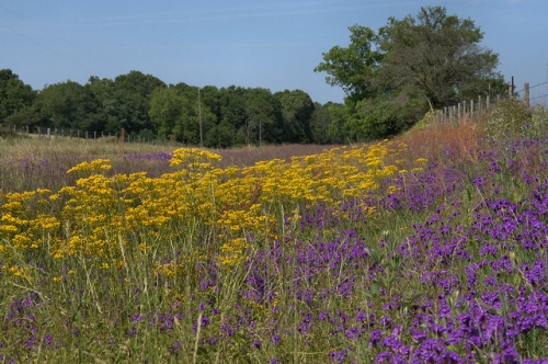 Roadside Wildflowers Spring Color Verbena Turner County GA Photograph Copyright Brian Brown Vanishing South Georgia USA 2014