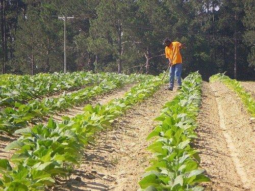 Traditional Farming Methods Hoeing Chopping Tobacco Ben Hill County GA Photograph Copyright Brian Brown Vanishing South Georgia USA 2014