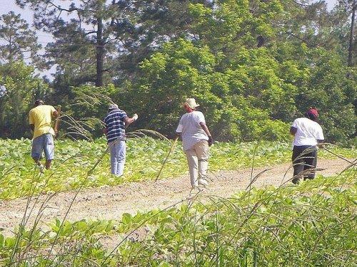 Traditional Farming Tobacco Chopping Hoeing Ben Hill County GA Photograph Copyright Brian Brown Vanishing South Georgia USA 2014