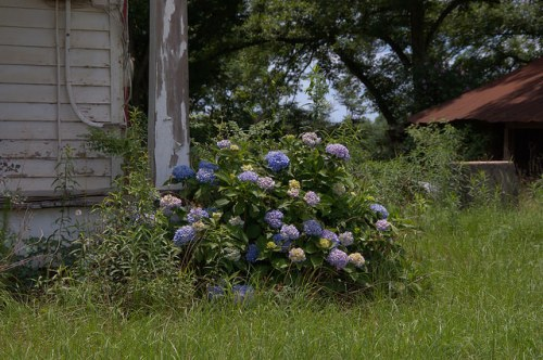 Hydrangea at an Old Farmhouse Tattnall County GA Photograph Copyright Brian Brown Vanishing South Georgia USA 2014