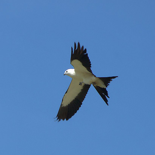 Swallow tailed Kite in flight Long County Ga nesting grounds photograph copyright brian brown vanishing south georgia usa 2014