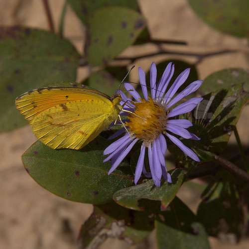 Wayne County GA Late Purple Aster Symphyotrichum patens Sulphur Butterfly Photograph Copyright Brian Brown Vanishing South Georgia USA 2014