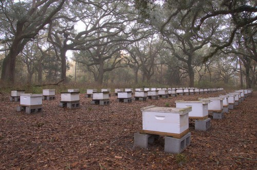 Apiary Beekeeping Hives Oak Hill Tattnall County GA Photograph Copyright Brian Brown Vanishing South Georgia USA 2014