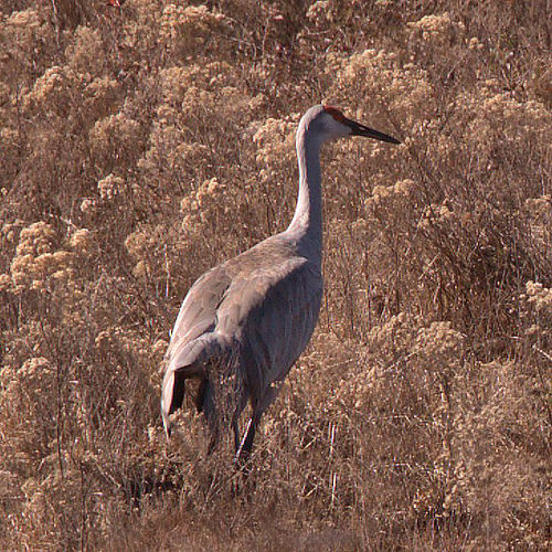 Sandhill Crane Grus candensis During Migration in Crisp County GA Photograph Copyright Brian Brown Vanishing South Georgia USA 2015