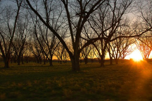 Tattnall County GA Pecan Orchard Sunset Photograph Copyright Brian Brown Vanishing South Georgia USA 2015