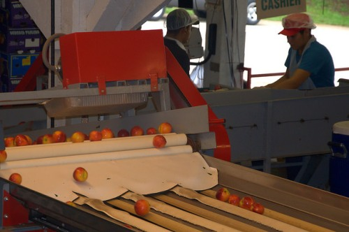 Dickey Farms Peaches Musella GA Automated Fruit Sizing System Photograph Copyright Brian Brown Vanishing South Georgia USA 2015