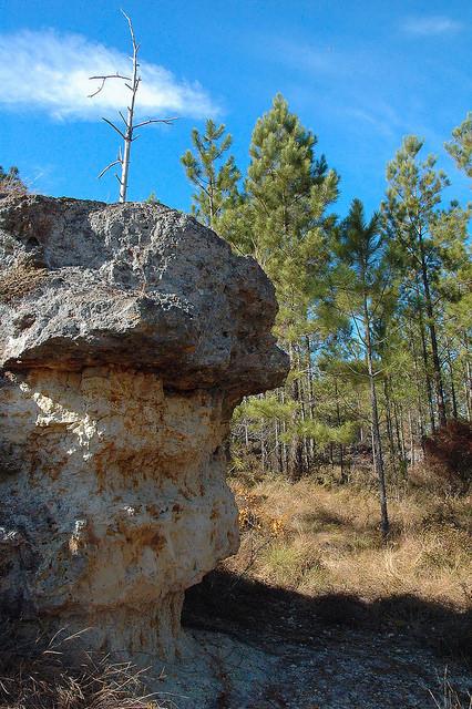 Altamaha Grit Sandstone Outcrop Middle Miocene Flat Tub Jeff Davis County GA Photograph Copyright Brian Brown Vanishing South Georgia USA 2015