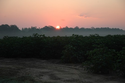 Sunrise Over Cotton Field Irwin County GA Photograph Copyright Brian Brown Vanishing South Georgia USA 2015