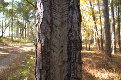Seventeen Mile River Catface Turpentine Pine Tree Photograph Copyright Brian Brown Vanishing South Georgia USA 2015