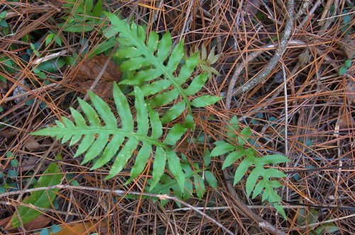 Seventeen Mile River Coffee County GA Woodwardia areolata Netted Chain Fern Photograph Copyright Brian Brown Vanishing South Georgia USA 2015